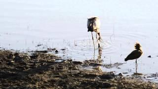 #24 Dinnertime for the stork, frog and hamerhead - Ooievaar, kikker en hamerkop fourageren