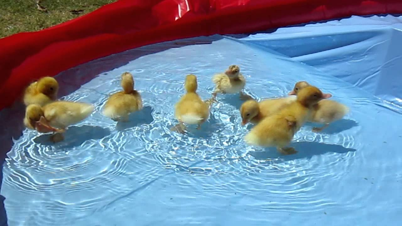 Baby ducklings take their first swim youtube for Keep ducks out of swimming pool