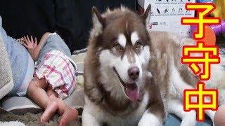 grandchild and #Siberian#Husky #dog 孫達とハスキー犬達の成長記録 し...