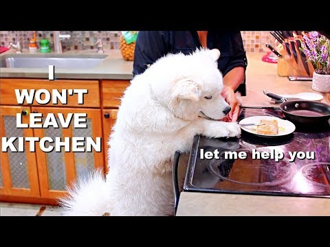 Life With a Samoyed Dog