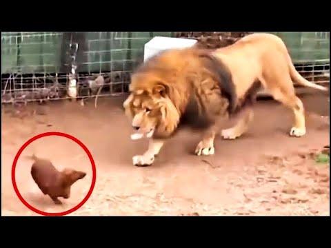 Download Lanzarón A Un Perro Dentro de la Jaula del Leon No Creeras lo que Ocurrio Despues