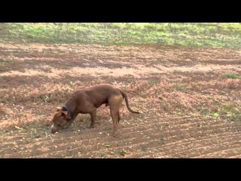 Cuba kutya,a vér pittbull