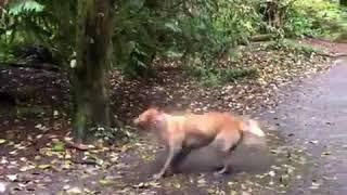 Golden Retriever Enjoys Walking Through Muddy Waters - 1029962-2 Video