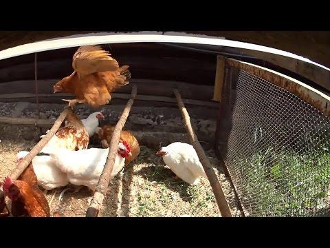 Что делать если курицы дерутся? // Низкое качество злаковых // Жизнь в деревне