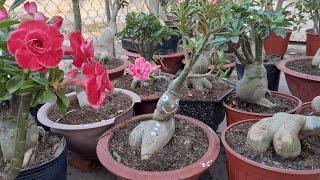 Xem cây sứ người Tuyết nở hoa sẽ ntn và con ₫ã nhận được quà của sư cô giác ₫ạo cám ơn cô Nhiều