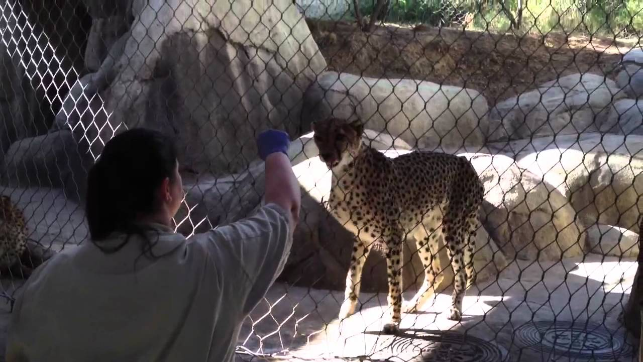 photo joel federally dallas which pintada jaguar of year a endangered named female ten sartore old