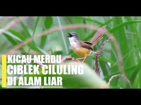 Download Lagu SUARA BURUNG : Ciblek kuning atau Ciluling gacor di Alam liar