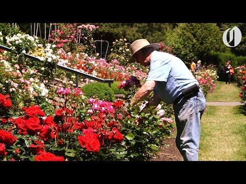 As Washington Park's rose garden turns 100, its longtime curator hangs up his shears