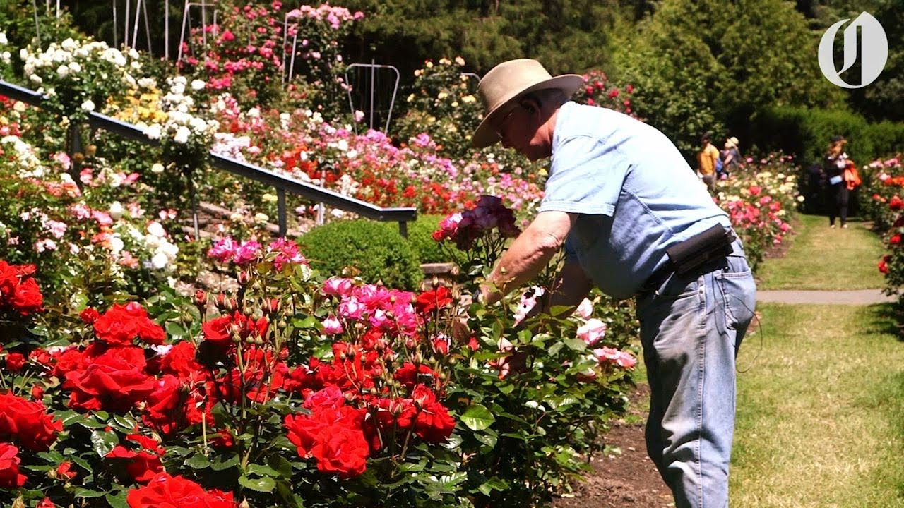 As Washington Park\'s rose garden turns 100, its longtime curator ...