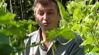 огурцы в открытом грунте(Видео из серии