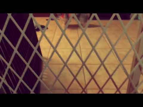 Pancake The Australian Silky Terrier