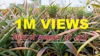 Cultivation of Pineapple in Bihar (बिहार में अनानास की खेती)
