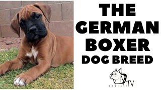 Everything you need to know  GERMAN BOXER Dog Breed  DogCastTV!