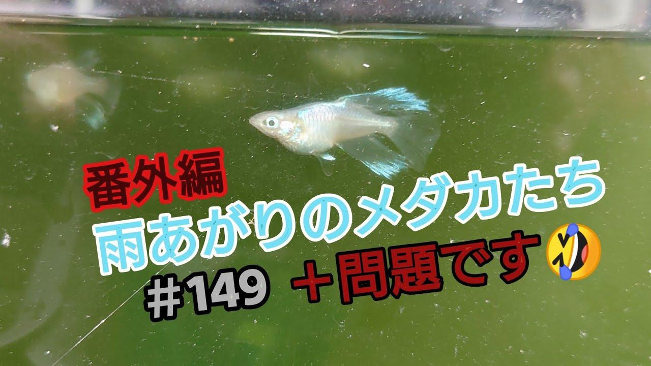 メダカ図鑑#149 【雨あがりのメダカたち】番外編+問題です🤣