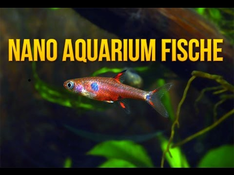 nano aquarium fische 5 geeignete und beliebte fischarten f r kleine aquarien youtube. Black Bedroom Furniture Sets. Home Design Ideas