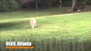 100% Off Leash Recall | Australian Shepherd/collie Mix | Dog Training Atlanta