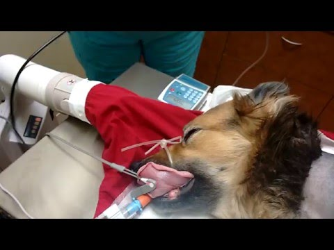 Dogs monitoring during surgery
