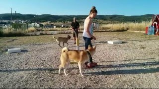 Training An Akita Puppy With Distractions, Dog Training