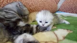 Кошка воспитывает Котят!Первые Шаги!16 дней Котятам!