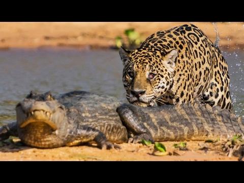 Un jaguar attaque un caïman ! - ZAPPING SAUVAGE