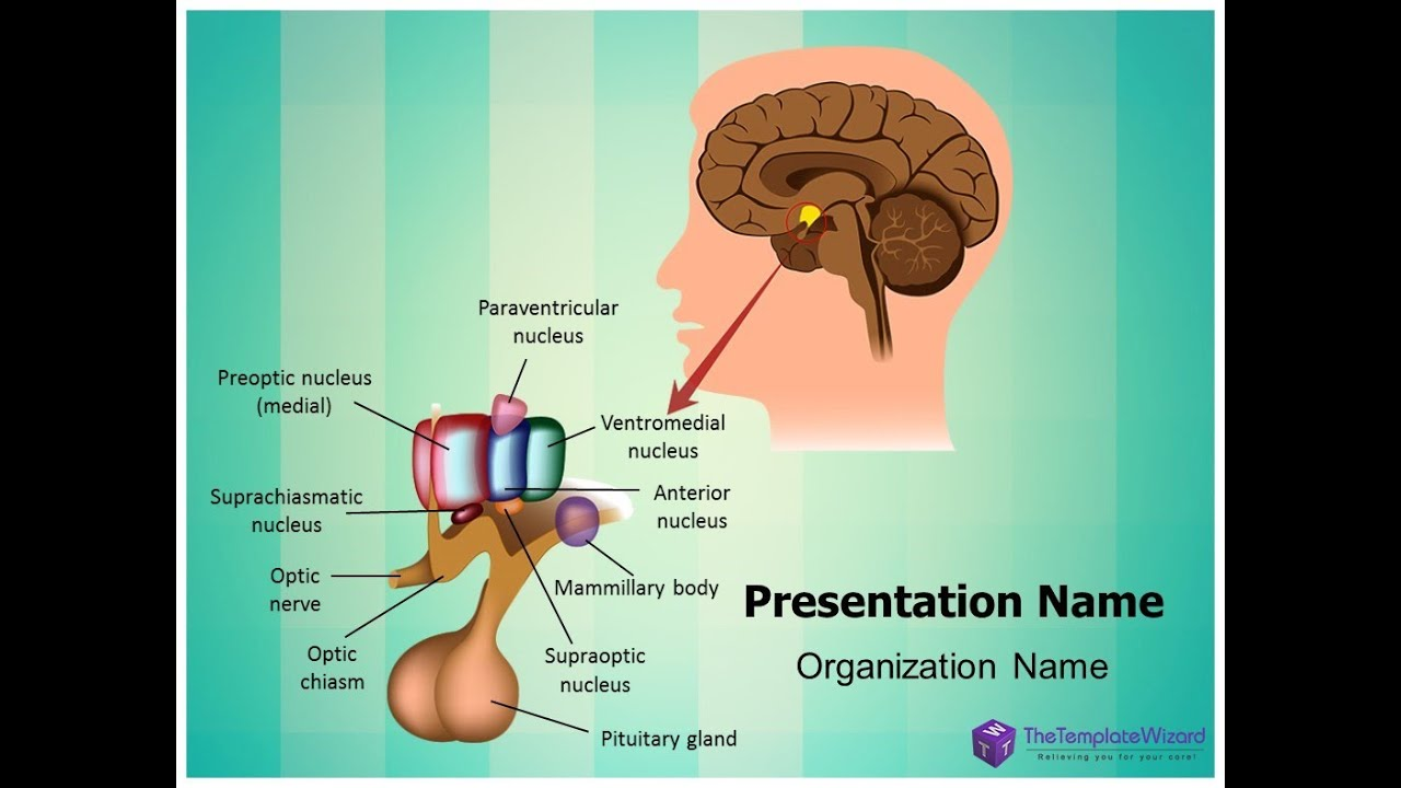 Hypothalamus Nuclei PowerPoint Template - TheTemplateWizard.com ...