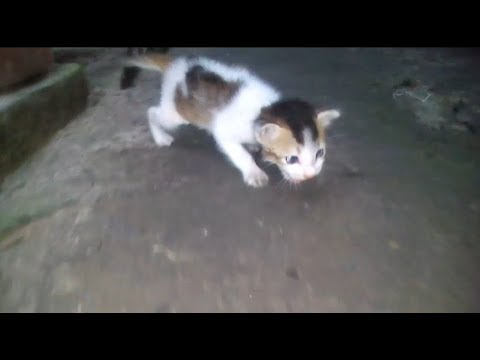 Funny Kitten Meowing and learns how to walk!