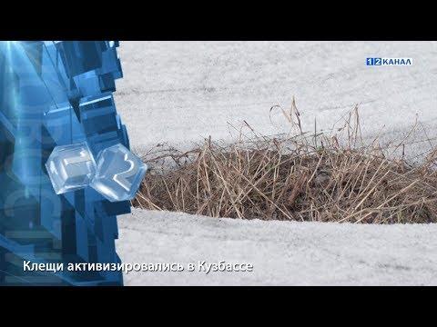 Клещи активизировались в Кузбассе