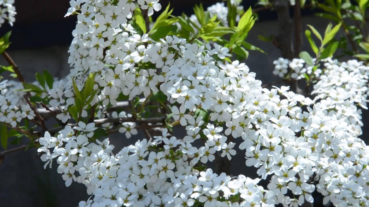 Spiraea Thunbergii Beautiful White Flower Youtube