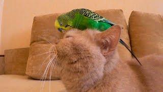Смешной кот Марсик и весёлый попугай Кеша. Cat and parrot.
