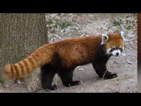 Red panda returned after escaping zoo for a weekend