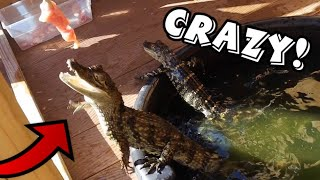 FEEDING MY PET CAMIAN & ALLIGATOR.. WHAT COULD GO WRONG?