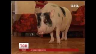 Пара киян замість собаки завела собі свиню