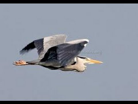 Wildlife- Grey Heron feeding off the Hampshire Avon