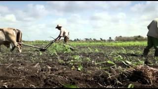 An ox-drawn plow