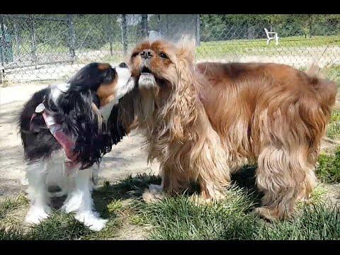 Cavalier King Charles Spaniel - Hughes Dog Park