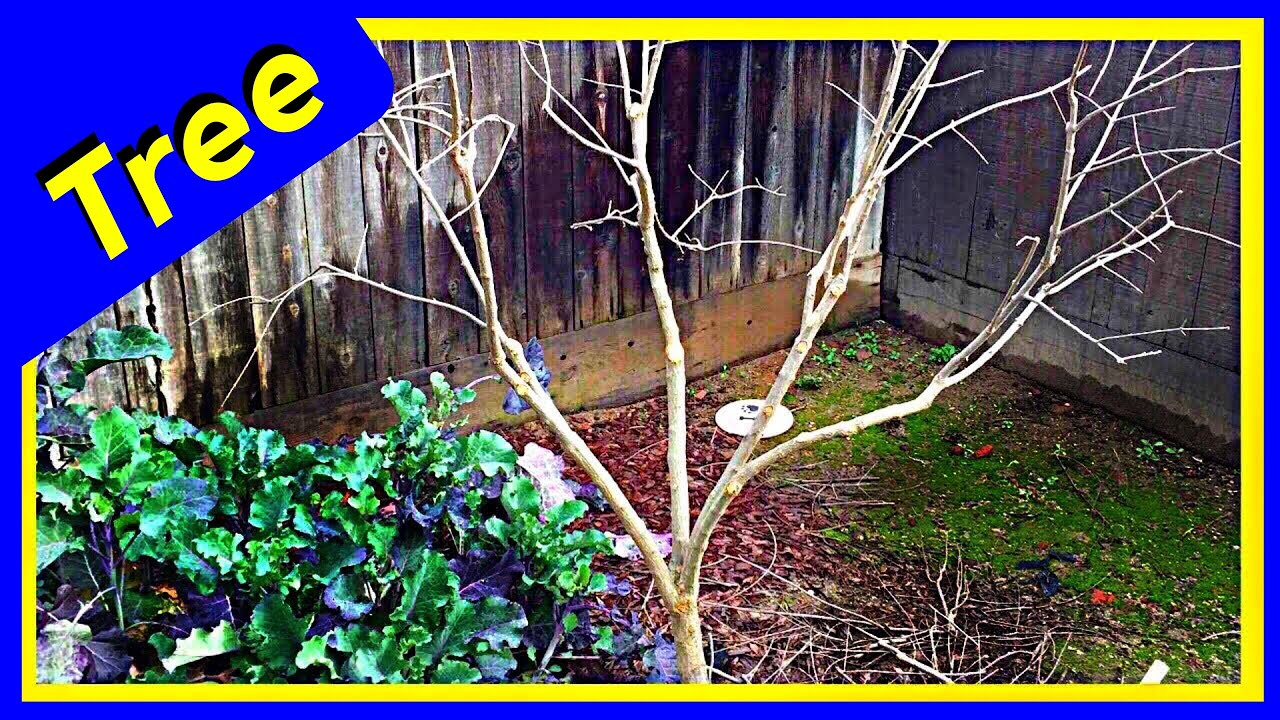 Pruning Pomegranate Bush Into A Tree Easy