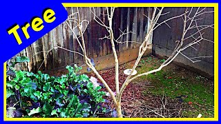 Pruning Pomegranate Bush into a Tree