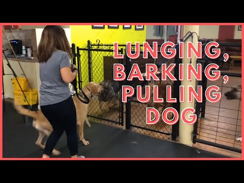 Lunging, Barking, Pulling Dog rehab How To Dog Training Tyga