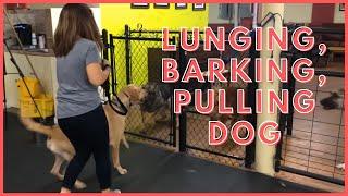 Lunging, Barking, Pulling Dog rehab How To Dog Training Tyga thumbnail