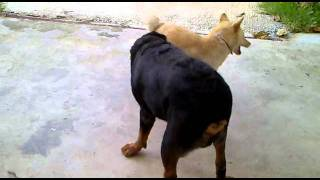 Repeat youtube video หมาไทย VS ร็อตไวเลอร์