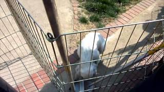 イングリッシュセター(ココア)の仔犬達です。 生後2ヶ月。白黒の女の...