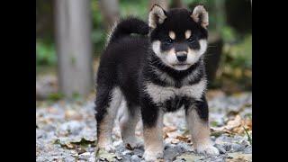 柴犬専門ブリーダー・犬舎の子犬販売 柴犬.net ID:453 http://www.shiba...