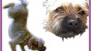 Border Terrier Awesome Tricks