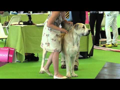 Central Asian Shepherd ring part 13 WDS 2011