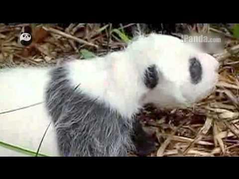Panda Today (Aug. 18, 2013)