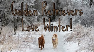 Thegoldenduo: Golden Retrievers Love Winter!
