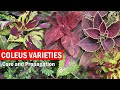 How to grow Coleus Plant Care and How to Propagate from Cuttings | Coleus cuttings - English