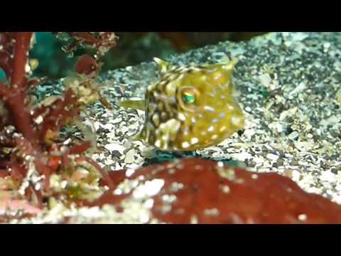 Scuba Diving / Roundbelly Cowfish / Lactoria Diaphana