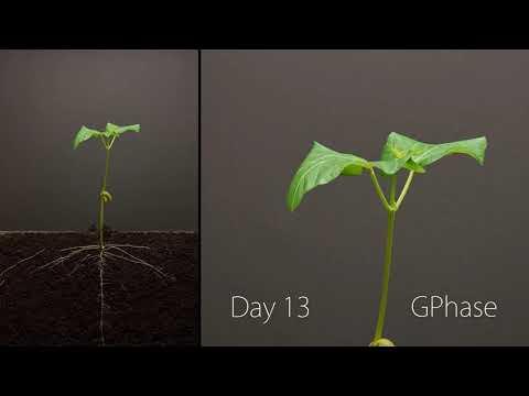 Как растет фасоль фото