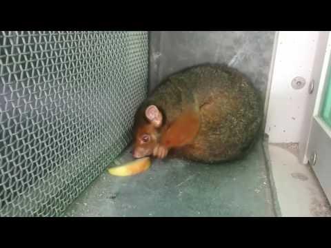 Possum eats apple on a hot day in Australia
